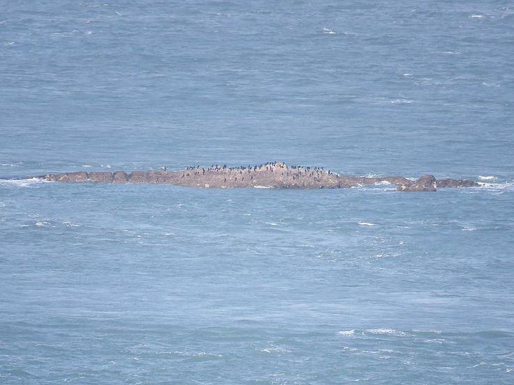 Meerscharben und Temmincks Kormorane auf einem Felsen zwischen Nord- und Südkorea – Vögel kennen keine Grenzen!