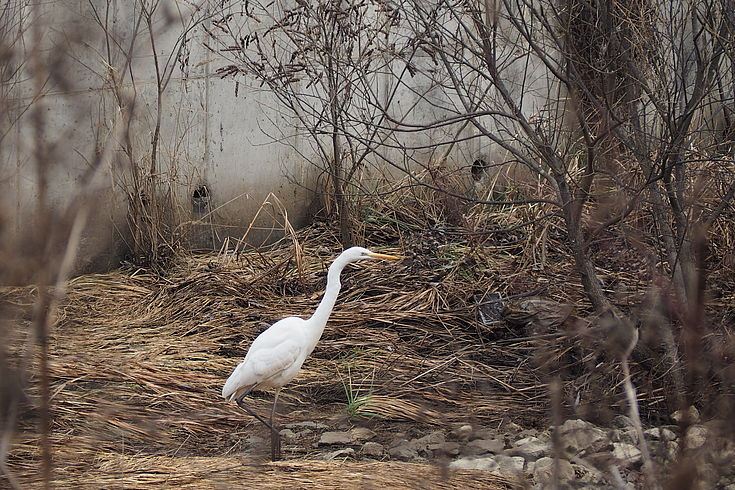An Egret Posing for the Camera