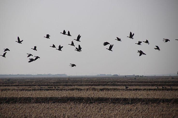 Eine Gruppe Schwanengänse im Flug.