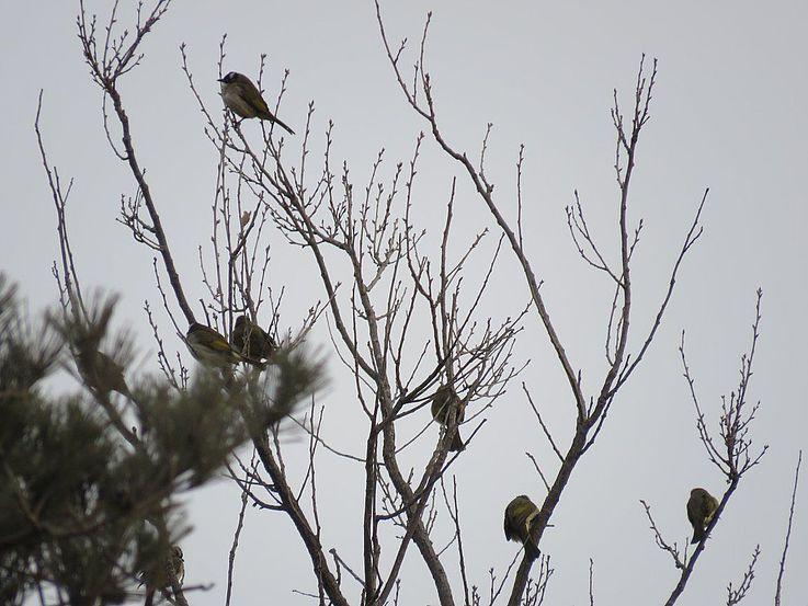 Eine Schar Chinesischer Bülbüls – dieser Vogel hat erst in den letzten Jahrzehnten die koreanische Halbinsel bevölkert.