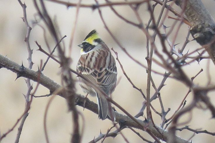 Yellow-throated bunting - one of the many passerines on Baengnyeongdo.