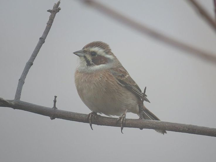 Meadow bunting.