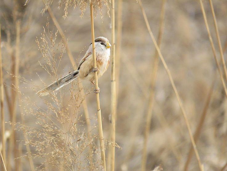 Der Lebensraum ist ebenso für kleinere Vögel wie den Ammer, hier die schöne Jangtsepapageimeise.