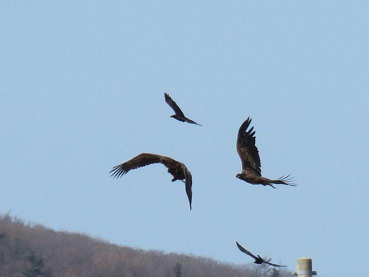 Seeadler die von Dickschnabelkrähen geärgert werden. An dieser Stelle haben wir insgesamt 11 Adler gezählt!
