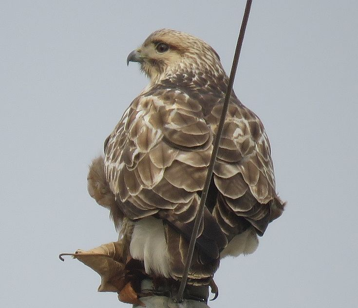 A Buzzard with his Catch