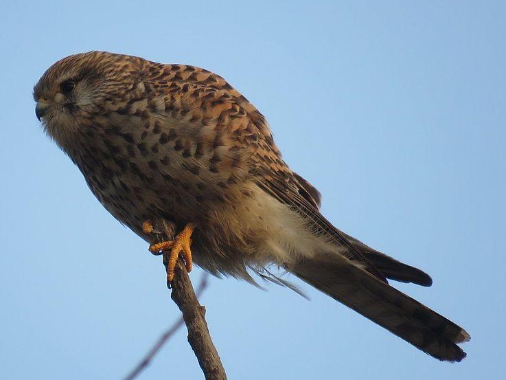 Turmfalke – auf der Insel gibt es eine große Vielfalt an Raubvögeln, genauso wie eine große Vielfalt an Beute: Gänse, Enten, Sperlinge…